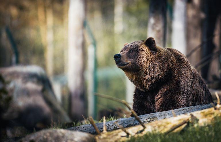 Ursul care l-a omorât pe ciobanul Mihai Cadar, găsit mort în pădure. Ce s-a găsit în apropierea animalului