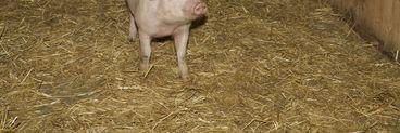 Un gorjean a ramas fara porcul de Craciun! Animalul a cazut din masina cu care era transportat! Vezi cine l-a gasit si ce a facut cu el!