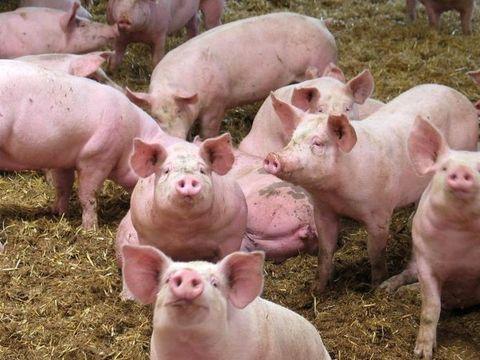 Ce pasi trebuie sa urmeze romanii care vor despagubiri pentru daunele provocate de pesta porcina