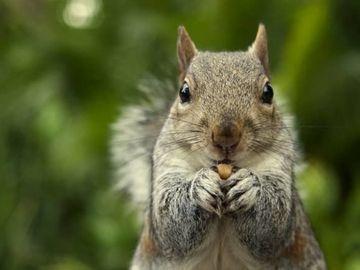 Un bărbat a murit după ce a mâncat creier de veveriţă