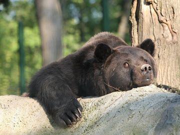"""A murit ursul Max, animalul orbit de mic de către proprietari, care scoateau bani cu el la Castelul Peleş! """"Ochii lui văd acum cerul, şi lumina, şi îngerii!"""""""