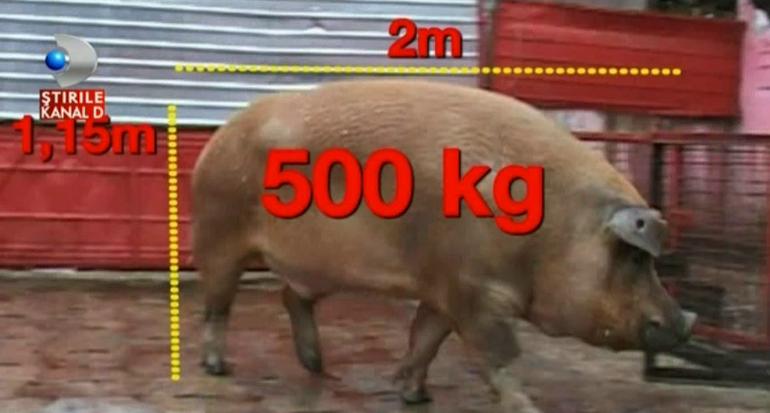 Un fost ministru de la noi si-a luat porc pentru masa de Craciun de 500 de kg! Animalul e cel mai mare din Romania