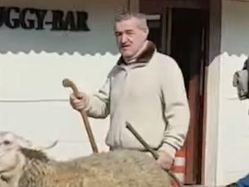 Gigi Becali a ieșit iar cu oile pe stradă prin Pipera! Imagini VIDEO fabuloase