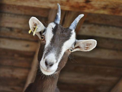 Șocant! O capră gestantă a fost VIOLATĂ de opt bărbați! Cum a găsit-o proprietarul