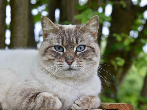 Australia va omorî două milioane de pisici cu cârnați otrăviți