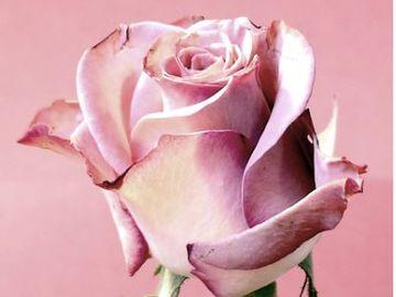 Trandafiri criogenati ideali pentru a fi daruiti vara