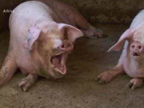 Gest nemaiîntâlnit de când România a fost lovită de pesta porcină! Ce bilet au lăsat membrii unei familii din Târgu-Jiu pentru autoritățile care au venit să le extermine porcii