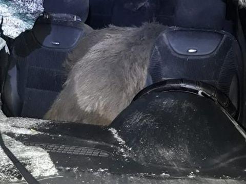 Accident grav în Dâmbovița! Un porc mistreț a spulberat parbrizul unei mașini provocând pagube uriașe