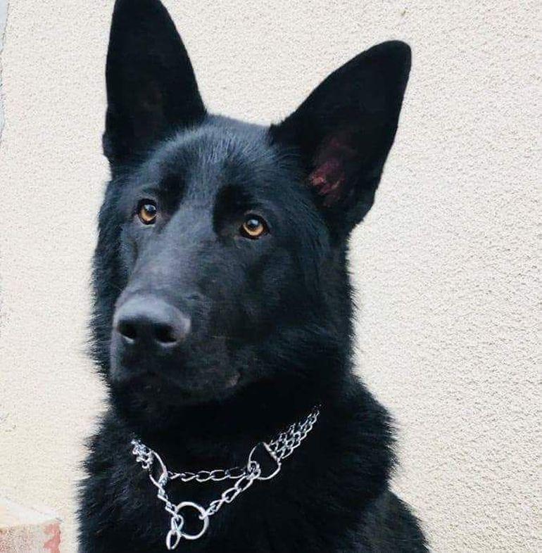 Ministerul de Interne îi mulțumește câinelui polițist care a descoperit criminalul din Satu Mare. Cum a fost răsplătită Teba