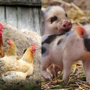 Se interzice creșterea animalelor și păsărilor de curte în gospodării! Unde s-a luat această decizie?