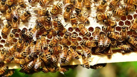 Ce trebuie sa faci daca te-a intepat o albina! Sfaturile astea iti pot salva viata!
