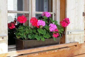 Cum sa ai cele mai frumoase muscate in balcon! Pune asta in apa cand le uzi si vei vedea diferenta