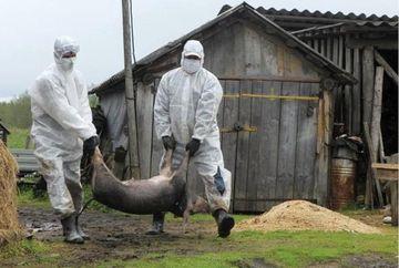 Stare de alerta nationala! Pesta porcina africana se extinde pe zi ce trece! Iata unde au fost confirmate noi focare!