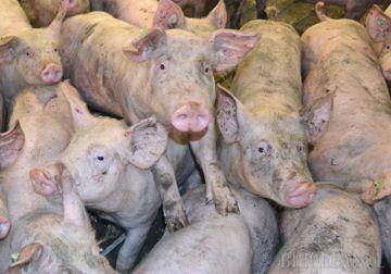 Ce se intampla daca mancam carne de porc infestata cu pesta porcina, putina lume stie