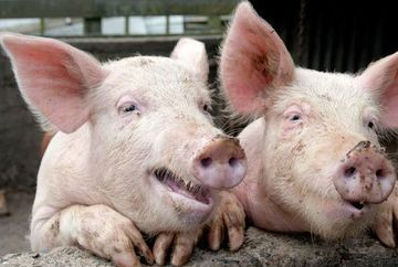 Cum arata un porc bolnav de pesta porcina! Uite cum iti dai seama ca un porc este bolnav de pesta porcina africana