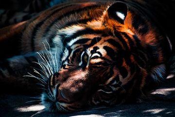 Comercializare produselor obtinute din tigri si rinoceri, relegalizata. Cine a facut anunutul controversat