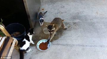 CUM a pacalit un raton trei pisici si le-a furat mancarea de sub nas! VIDEO