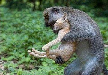 Cea mai EMOTIONANTA POVESTE a inceputului de an! O maimuta a salvat un pui de pisica accidentat! FOTO