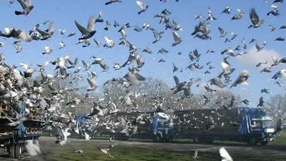 A inceput cursa de porumbei cu premii de un milion de dolari