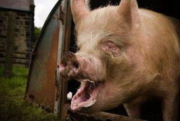 SOCANT - Un fermier din Statele Unite a fost DEVORAT de proprii porci