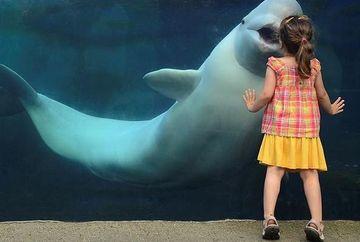 Ce adorabil! O fetita primeste un pupic de la o balena beluga