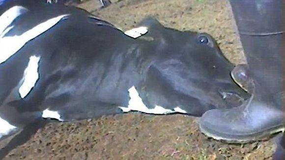 Imagini TERIFIANTE! Cum sunt MACELARITE vacile intr-un abator care are contract cu un important lant de fast-food! VIDEO SOCANT