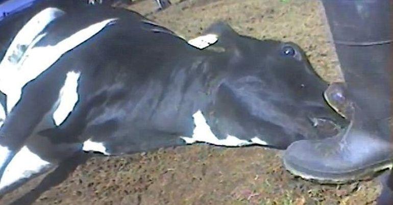 Imagini TERIFIANTE! Iata cum sunt MACELARITE vacile in cadrul unui abator care are contract cu un important lant de fast-fooduri VIDEO SOCANT