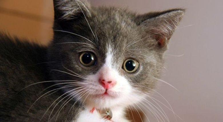 CONCLUZII SOCANTE ale unui studiu: posesorii de pisici sunt DE 7 ORI mai predispusi la SINUCIDERE din cauza unui parazit purtat de patrupede