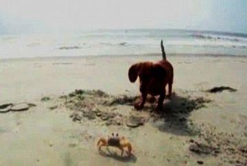 VIDEO AMUZANT: crab versus caine. Cine crezi ca invinge?