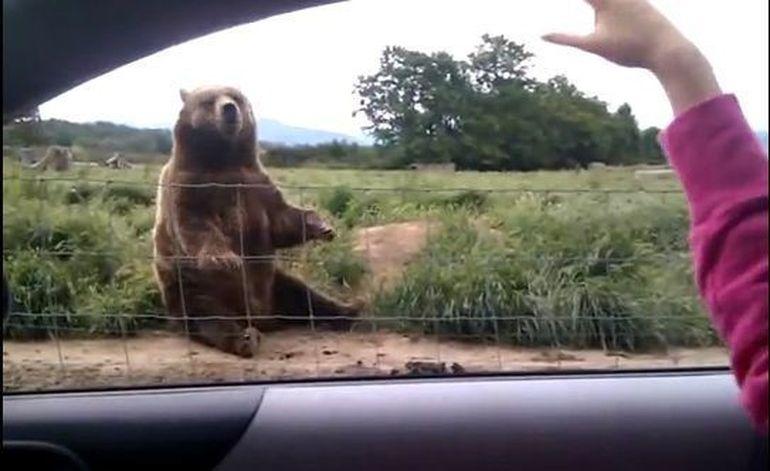 Reactia senzationala a unui urs atunci cand este salutat! VIDEO
