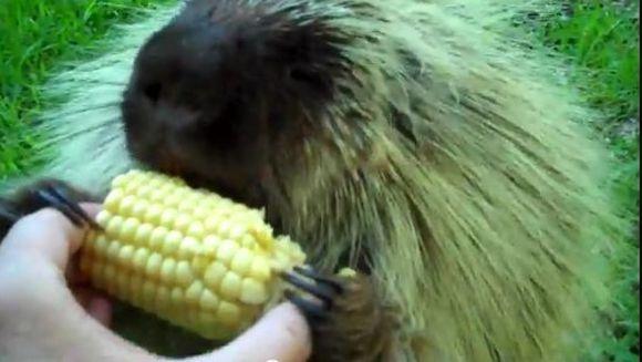 FUNNY - Porcul spinos care nu vrea sa renunte la mancare lui! Uite ce reactie are! VIDEO
