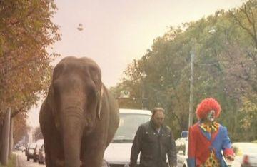Rani, elefantul vedeta care se plimba pe strazile din Ploiesti!