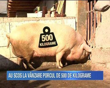 Doi gospodari din Galati se pot mandri ca au cel mai mare porc din tara. Guitatorul cantareste 500 de kilograme