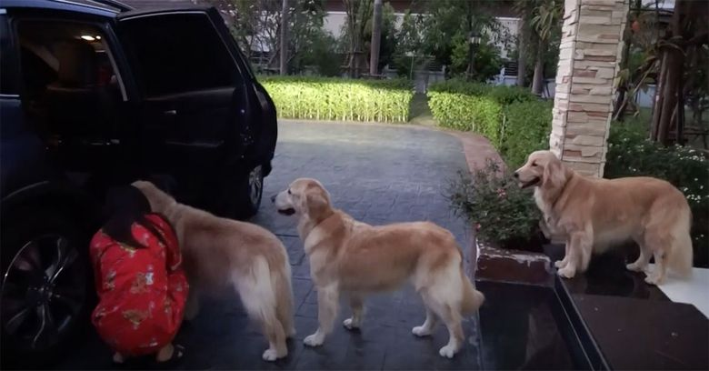 Trei caini Labrador au facut coada in fata unei masini. Cand am vazut ce asteapta, am murit de ras. Felicitari stapanilor pentru ca i-au dresat asa