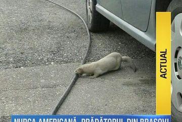 Alerta in Brasov dupa ce cateva nurci americane au evadat de la o ferma din judet. Animalele sunt extrem de agresive