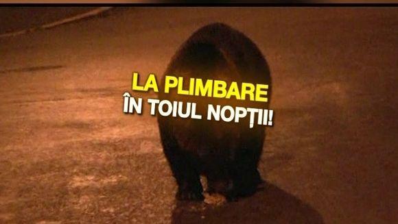 Nu mai trebuie sa mergem la circ pentru a vedea ursi! Mai nou, animalele salbatice se dau in spectacol in fiecare noapte in statiunile montane