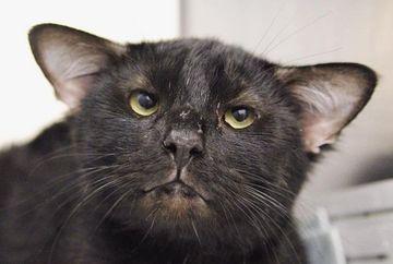 Pare o pisica normala, insa ascunde un secret SOCANT: are PATRU urechi! Cum arata Batman, motanul care a uimit Internetul