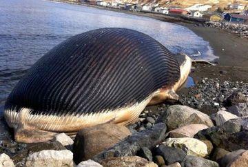 """Au gasit o balena moarta pe o plaja, iar inainte sa o arda au decis sa o taie, ca sa vada ce are in interior: """"E prea umflata!"""" Cand au vazut ce avea in stomac, au inceput sa planga!"""