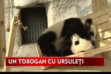 IMAGINI savuroase cu cativa ursuleti panda care adora sa se dea pe tobogan!