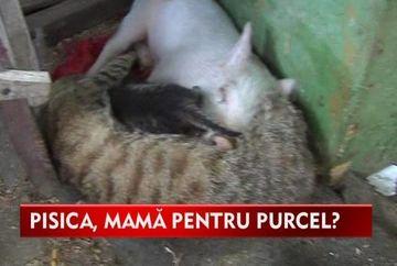 Pisica Mita face ravagii! A adoptat un purcelus pe care il creste ca pe proprii pui VIDEO