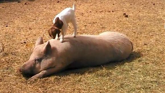 Lumea necuvantatoarelor, mereu SUPRINZATOARE! Un porc si un pui de capra, prieteni la catarama VIDEO