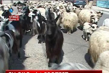 PROTEST INEDIT in fata primariei! Ciobanii au venit cu turmele de oi la demonstratie VIDEO