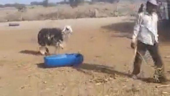 RAZI CU LACRIMI! Cum s-a RAZBUNAT o capra pe stapanul agresiv VIDEO