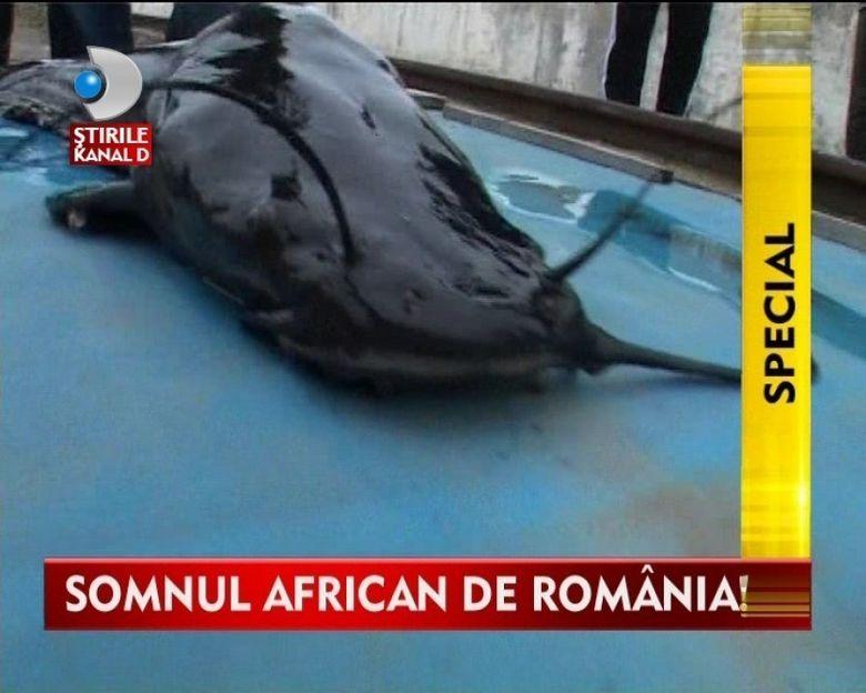 Somnul African, o specie de peste din care se prepara numai delicatese culinare VIDEO