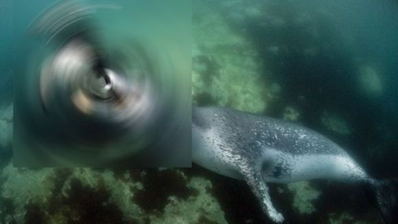 FOTOGRAFII SENZATIONALE! Momentul in care un leopard de mare isi captureaza prada GALERIE FOTO