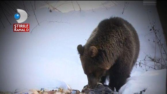 Vremea da peste cap METABOLISMUL ANIMALELOR! Ursii s-au trezit din hibernare VIDEO