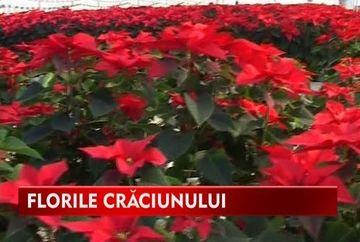 Florile Craciunului, cadoul ideal pentru doamne VIDEO