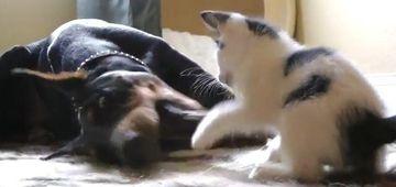 Lupta apriga! O pisicuta vs un doberman. Cine castiga? VIDEO FUNNY