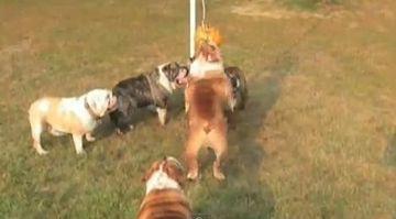 A inceput Olimpiada Canina? Iata cum se antreneaza cativa buldogi! VIDEO FUNNY