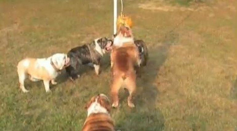 A inceput Olimpiada Canina? Iata cum se antreneaza cativa buldogi!